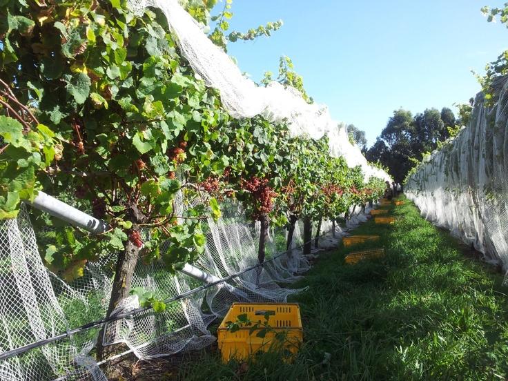 Villa Maria Harvest 2012 - men at work (Auckland NZ)