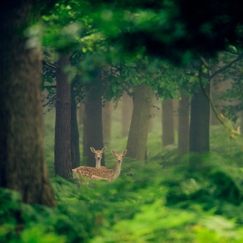Deers: always a beautiful sight in the forest.