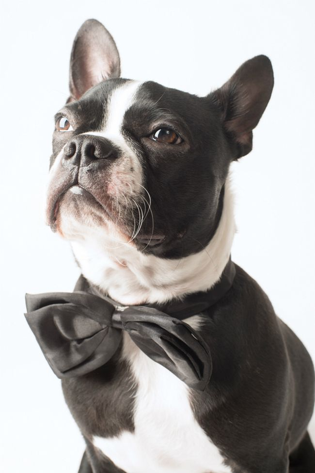 It Shows the Boston Terrier's Attitude! - This is Goblin from Montreal, QC, Canada ► http://www.bterrier.com/?p=26670