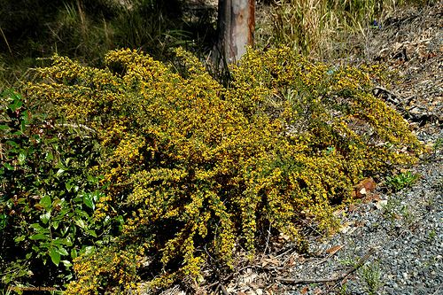 Hairy bush pea Pultenaea villosa Fine hairs cover the leaves and stems of this shrub which grows to 1.5m. In autumn and spring yellow and orange pea flowers transform this plant into a ball of gold. Ideally suited to a welldrained sunny position in the garden.