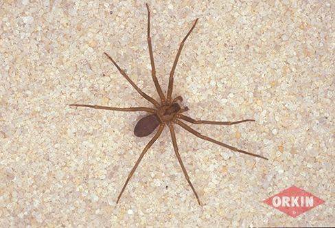 brown recluse image