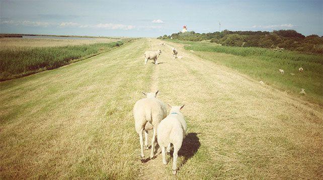 Schafe in Westermarkelsdorf