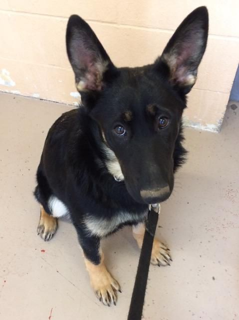 Pepper is an adoptable german shepherd dog searching for a forever family near Richmond, BC. Use Petfinder to find adoptable pets in your area.