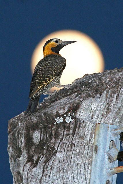 pica-pau-do-campo (Colaptes campestris) por Cassiano Zaparoli (zapa)   Wiki Aves - A Enciclopédia das Aves do Brasil