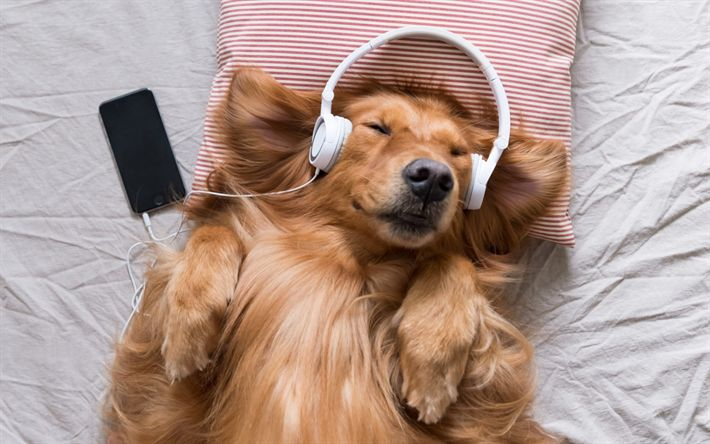 Download Wallpapers Golden Retriever Dog Listening To Music Pets
