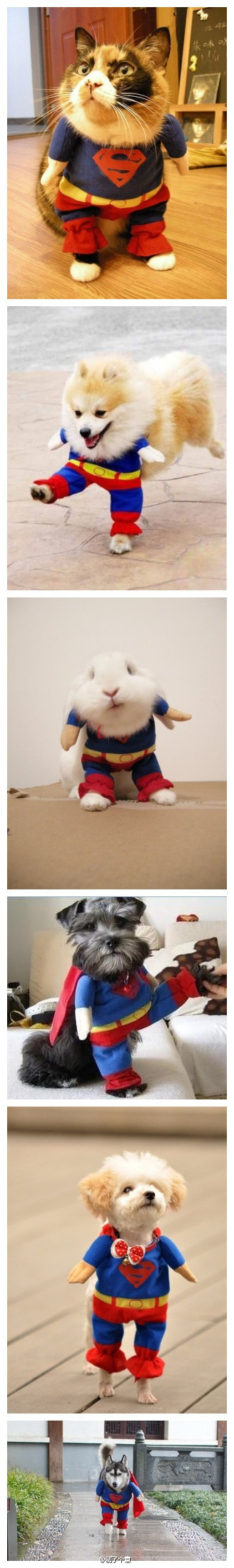 Superman Pets… omg made me laugh so hard.