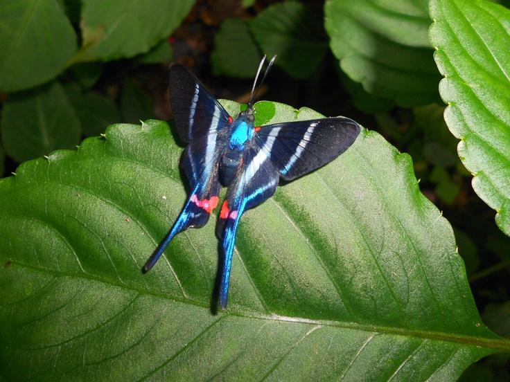 Rhetus arcius es una particular especie de mariposa que vive en las proximidades de arroyos, nosotros la encontramos en los alrededores de Villeta, Cundinamarca.