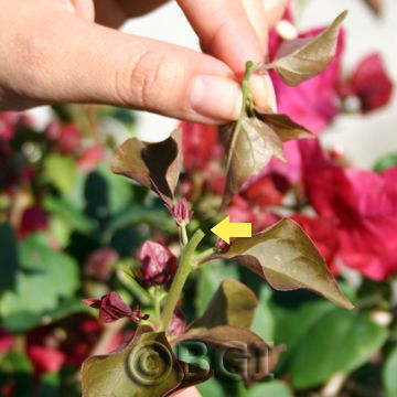 Bougainvillea 101 - Trimming, Pruning, and Pinching