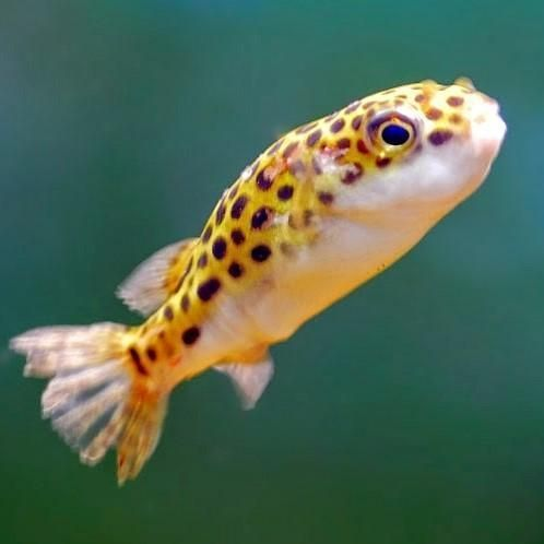 Peixe-balão ou baiacu, cujo nome científico é Tetraodon biocellatus.