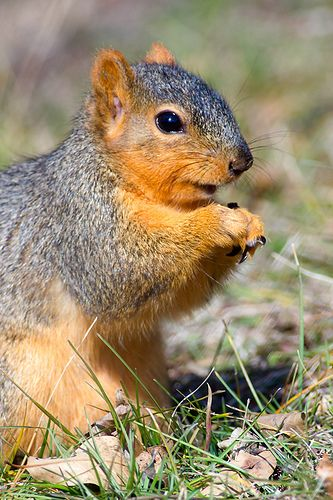 eastern fox squirrel sciurus - photo #15