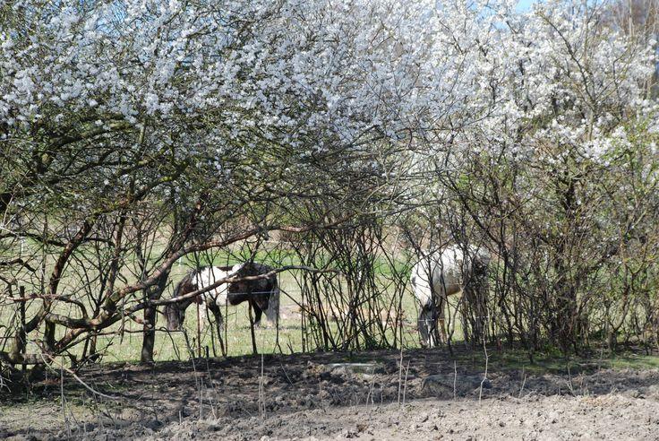 Heste græsser under blomstrende mirabeller på Fejø