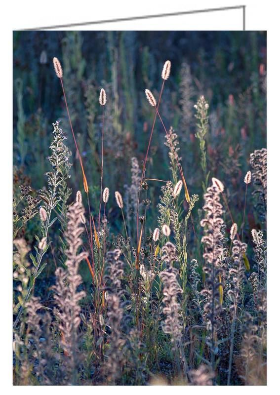 """Fall Meadow, Backlit - Greeting Card. Strong backlighting makes these dried flowers and grasses stand out against a dark background. The seed heads have a glow caused by the late day sunshine shining from behind. 5"""" x 7"""". Blank inside. Includes envelope. Buy online at Rob's Cards and Prints."""