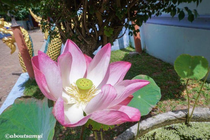 Лотос - один из самых красивых цветов в мире В Таиланде лотос считается символом чистоты ведь рождаясь в мутной болотной воде он появляется на свет чистым и незапятнанным. Зачастую лотосы высиживают на территории храмов