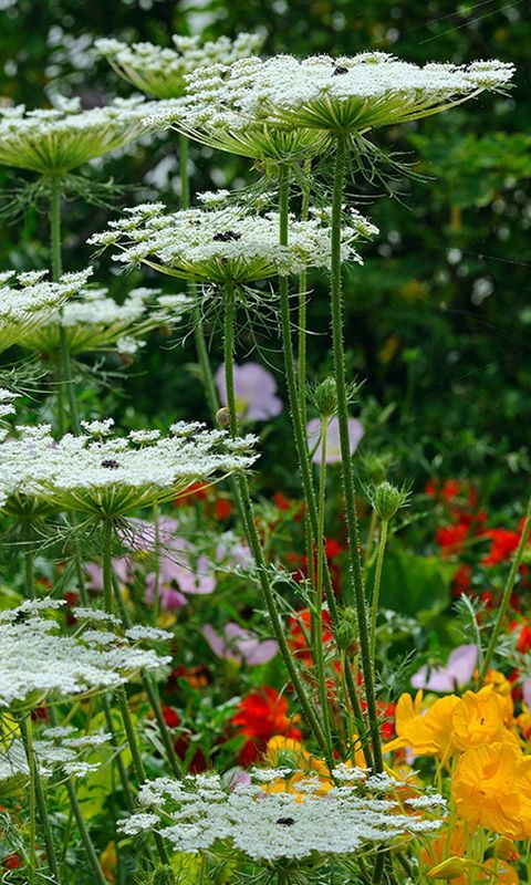 Queen Anne's Lace will add a perfect creamy wildflower touch to the pew flowers in mason jars.