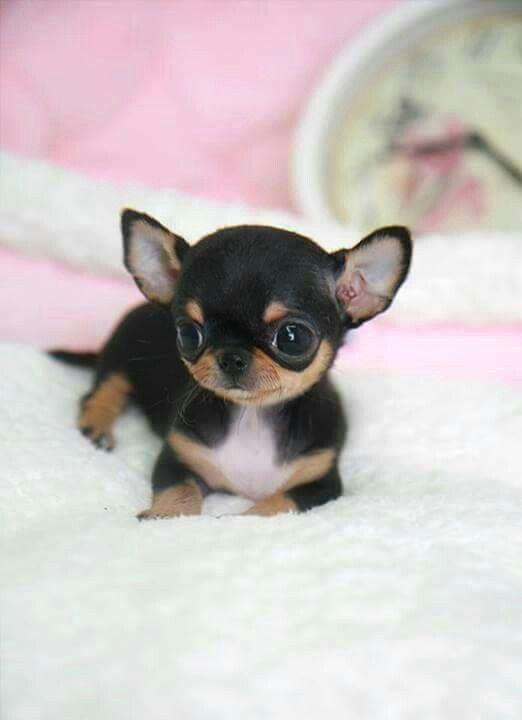 Chihuahuas baby 39 s beautiful animals