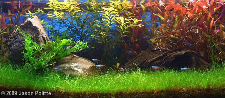 Jason Politte's 20 gallon (76L) freshwater aquarium ...