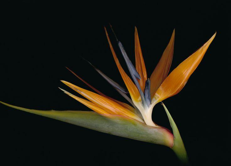 Bird of Paradise Flower Scanography | Sash Segal