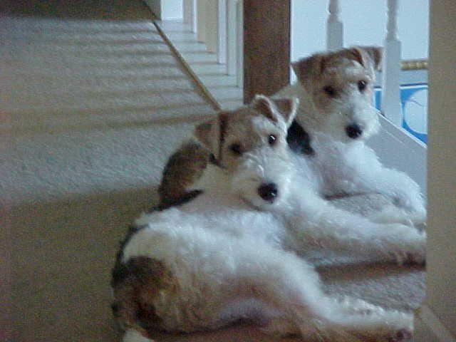 24 best Winston, Wire Fox Terrier images on Pinterest   Wire fox ...