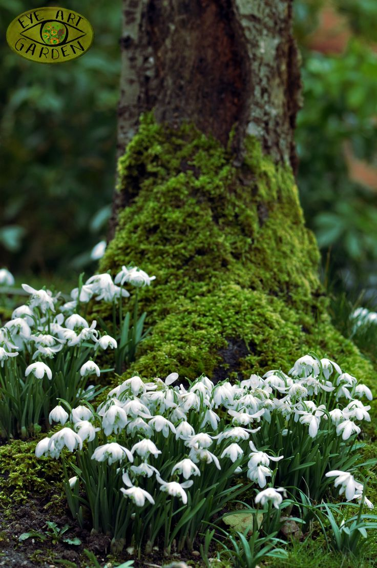 moss covered tree trunk + snowdrops