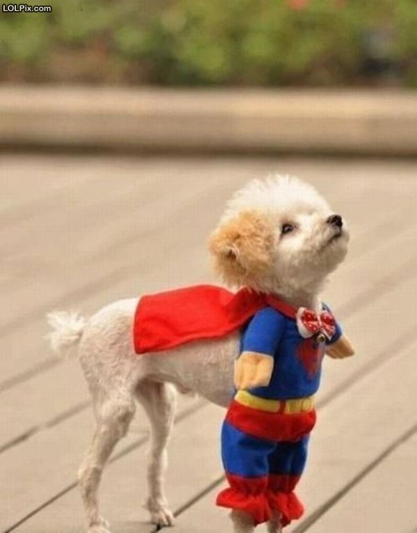 SuperDog.: Small Dogs, Halloween Costumes, So Cute, Dogs Costumes, Pet, Dogs Outfits, Super Heroes, So Funny, Little Dogs