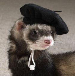 This Ferret must be from France because he he has a Beret on..A beret is a soft, round, flat-hat, of woven, knitted wool, crocheted cotton or wool felt. The ferret (Mustela putorius furo) is the tame form of the European polecat, a mammal belonging to the same genus as the weasel, Mustela of the family Mustelidae, They have brown, black, white, or mixed fur. They have an  length of 51 cm (20 in) with a 13 cm (5.1 in) tail, weigh about 1.5–4 pounds (0.7–2 kg), and have a lifespan of 7 to 10…