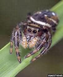 Laba-laba loncat sebagai predator alami dari hama