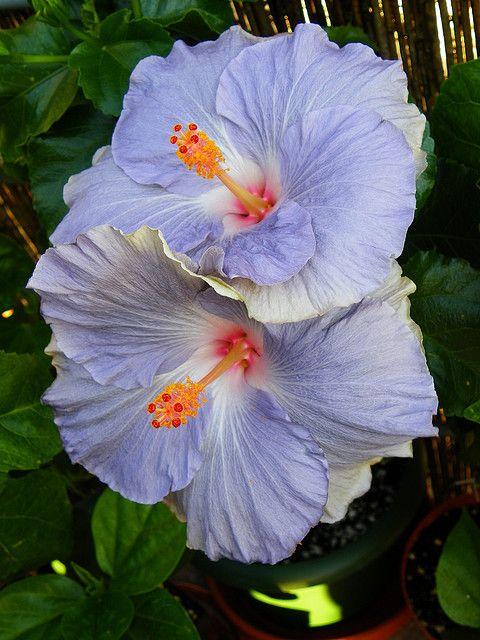 Hibiscus Tylene