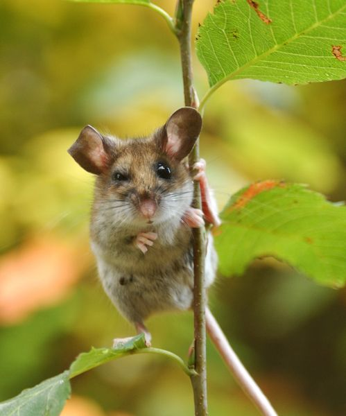 Peromyscus maniculatus (deer mouse)