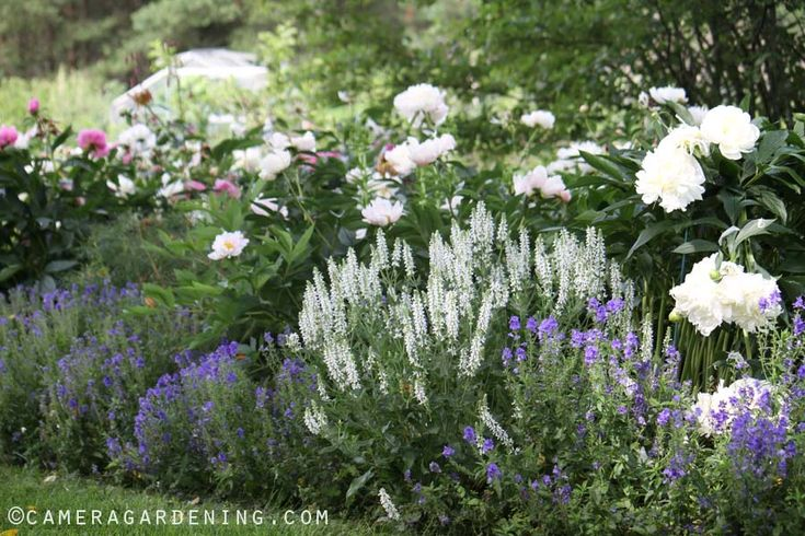 White Peony and Salvia Schneehugel