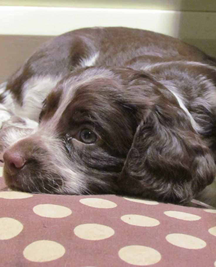 2 years on now and still as beautiful - sprocker puppy