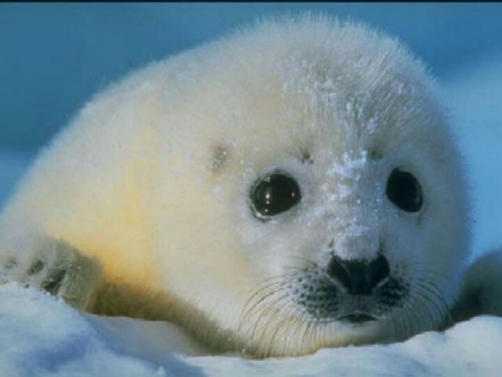 Cute Baby Harp Seal Cute baby seal! | Insp...