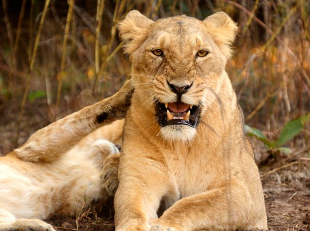 10 Amazing Attractions and Tourist Places in Gujarat: Gir National Park