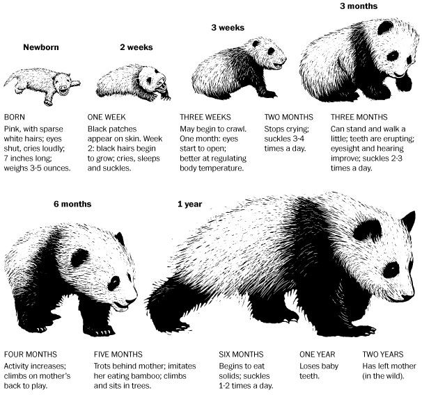 Everything you need to know about baby pandas, in one chart