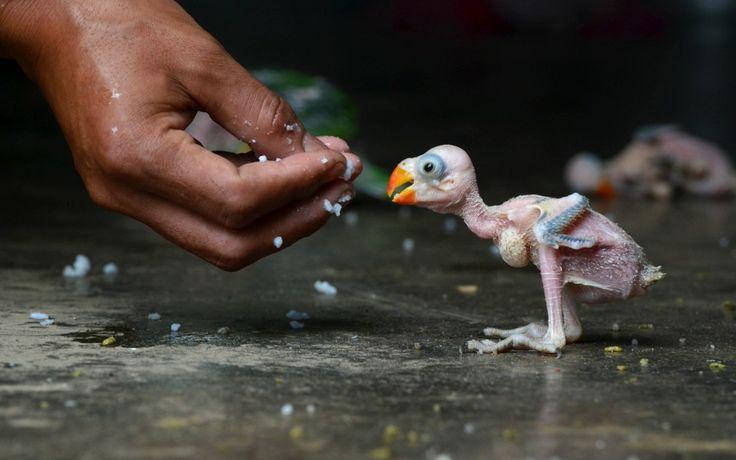 Een Indiase papegaai wordt met de hand gevoerd nadat het beestje in een bos is gevangen door een lokale jager. Het dier is te koop aangebode...