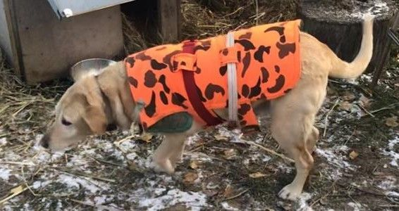 Terrific Cost Free Labrador Retriever Adulto Strategies In 2020