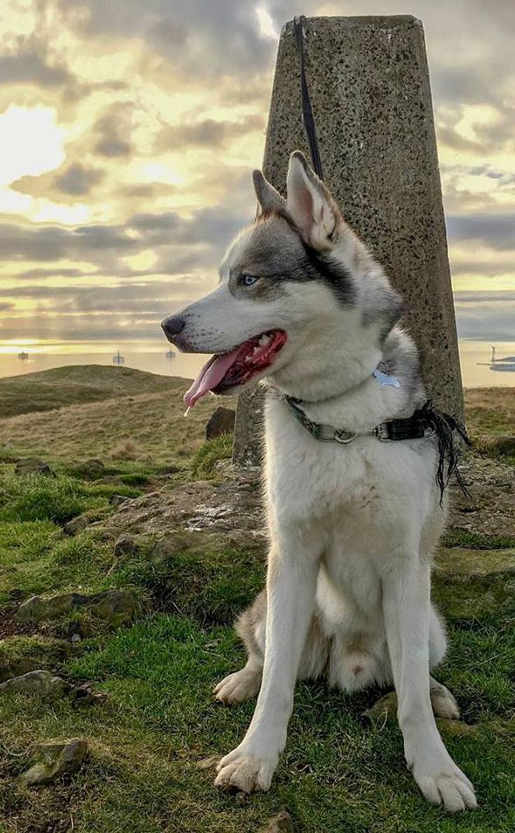 Husky Lovers This One Is For You Meet Oakley Sitting Atop An