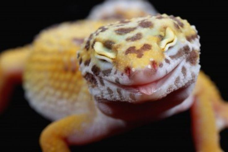 This leopard gecko looks happy!
