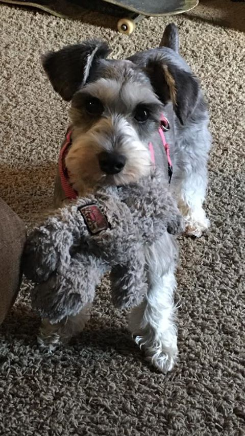 A schnauzer with its favorite toy.