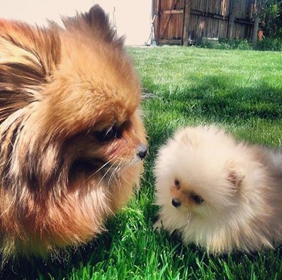 pomeranian and cats 866 best images about my dogs and cute pic s on pinterest 9455