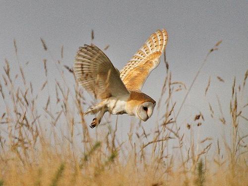 Barn Owl, Wiveton Downs, Norfolk