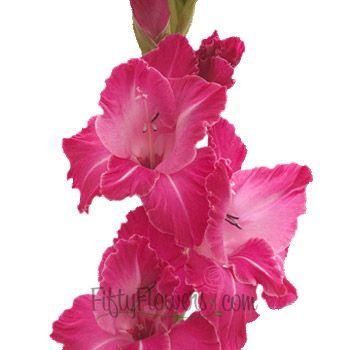 Gladiolus Hot Pink This Flower Symbolizes Generosity Sincerity And Infatuation