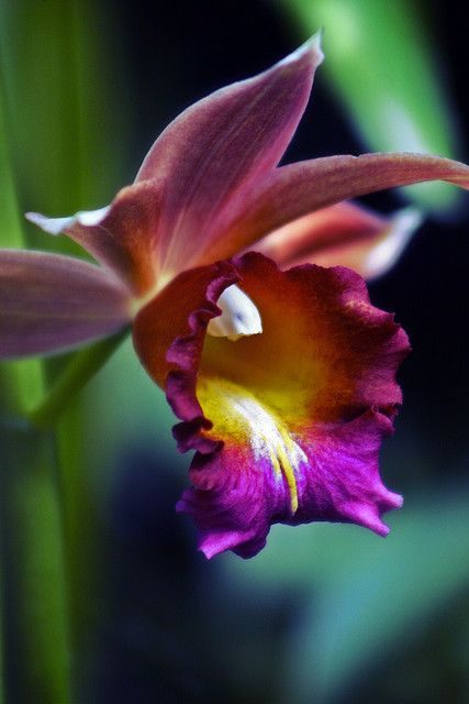 Orchid yawning by alan shapiro photography, via Flickr