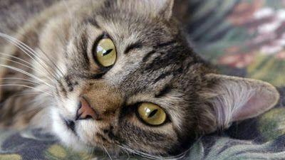 Pesquisa pode originar a cura para alergia a gatos Novo estudo identificou o receptor celular que reconhece e desencadeia uma reação alérgica à substância presente na saliva e na pele dos gatos. Em testes iniciais, remédio que bloqueia a ação do receptor conseguiu evitar alergias