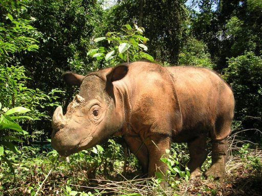 "Sumatran Rhinoceros (a/k/a Hairy Rhinoceros or Asian Two-horned Rhinoceros - Dicerorhinus sumatrensis) 🦏.   [""sumatra-rhino.jpg (512×384).""]      Google search:  ""The Sumatran Rhinoceros (Dicerorhinus sumatrensis -the only extant species of the genus), is a rare member of the family Rhinocerotidae, 1 of 5 extant rhinoceroses. Wikipedia.""  &  ""No single Sumatran rhino population is estimated to have more than 75 individuals, making them extremely vulnerable to extinction. worldwildlife.org."""