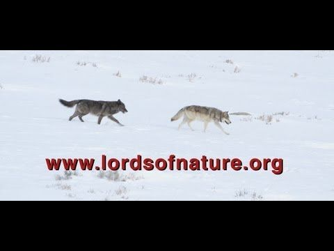 A healthy wolf population supports healthy wildlife habitat. Wolves are vital to the delicate balance of the forest ecosystem because they influence the feeding behavior of deer and elk, allowing vegetation to grow in the forests and along streams, which in turn supports birds, fish and beaver.  Narrated by Peter Coyote this captivating documentary explores the role top predators play in restoring biodiversity.