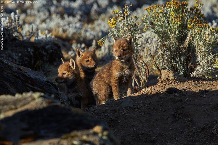 Pups, Sanetti Plateau