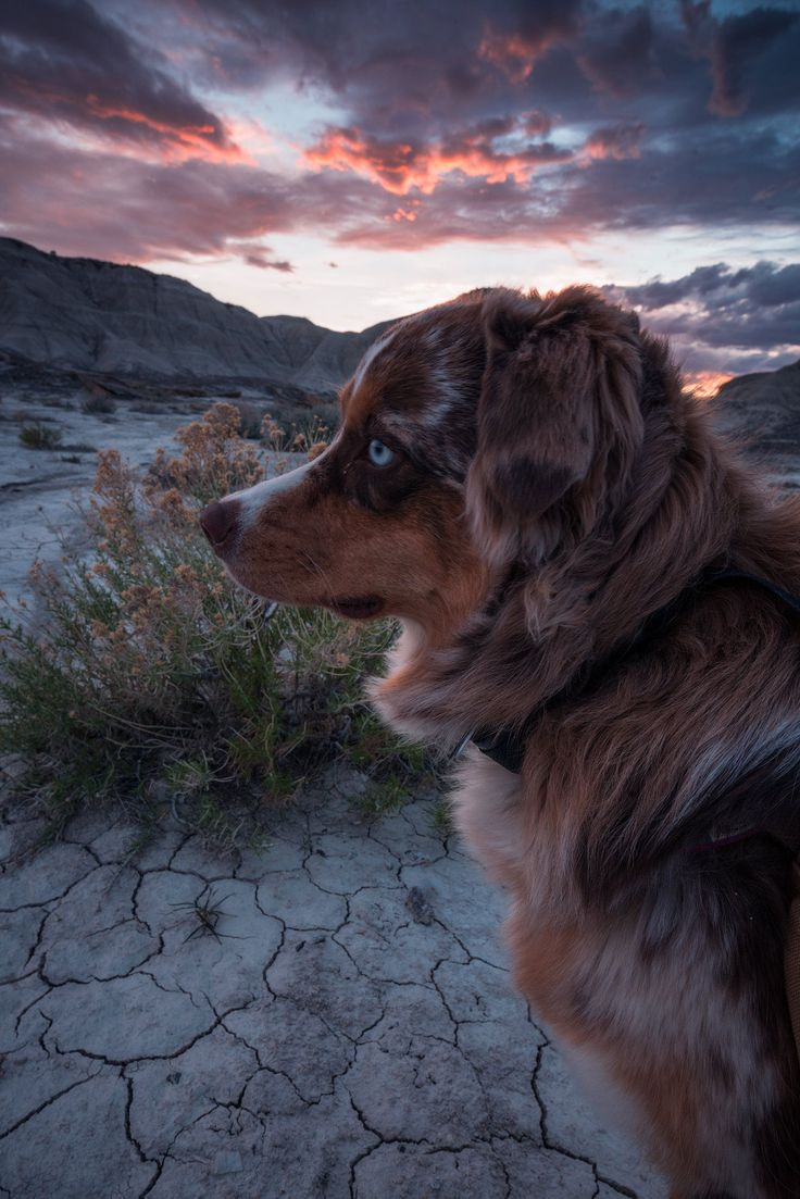 Gorgeous+Australian+Shepherd+dog+photography+3