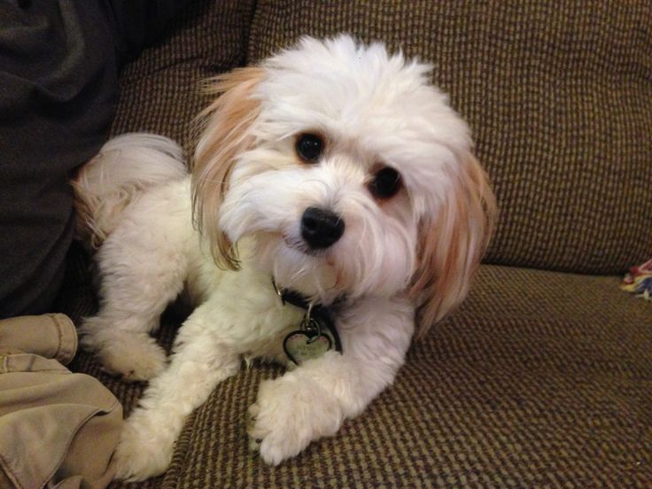 1000 Ideas About Havanese Puppies For Sale On Pinterest