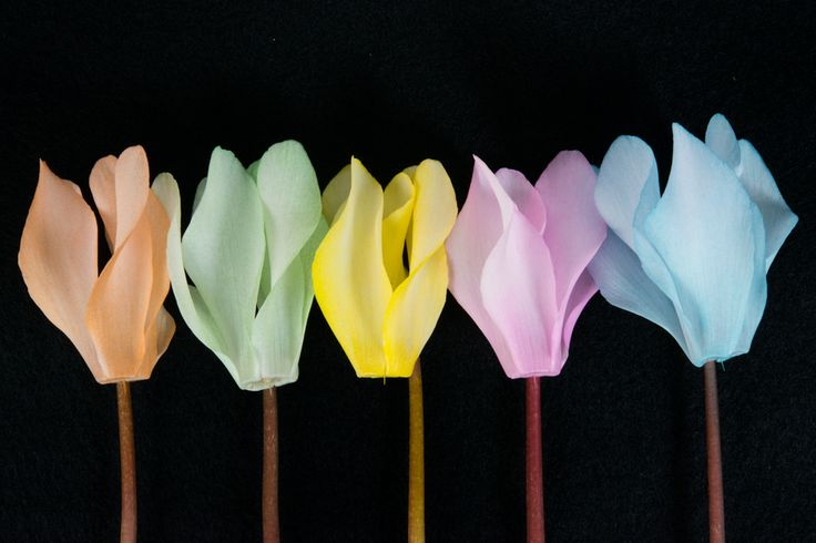 New colours, Make-upz cyclamen by Uniq Plants