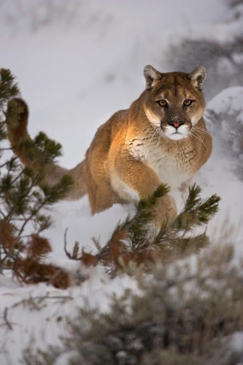 Inbred cougars found in So Cal. They are hemmed in by their habitat bordering on freeways.   They cannot roam and mate with a genetically diverse population.  Support a wildlife corridor in So Cal.